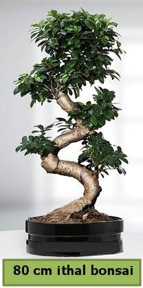 80 cm özel saksıda bonsai bitkisi  Bingöl Gölüm Çiçek çiçekçi telefonları