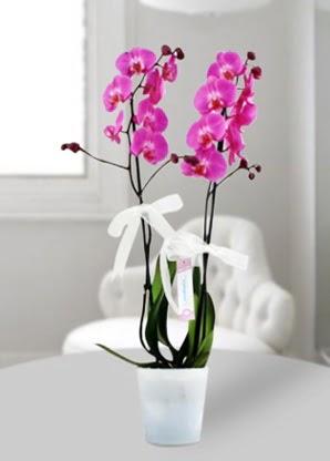 Çift dallı mor orkide  Bingöl Gölüm Çiçek çiçekçiler
