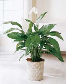 Bingöl Gölüm Çiçek online çiçek gönderme sipariş  spatilyum ithal büyük boy