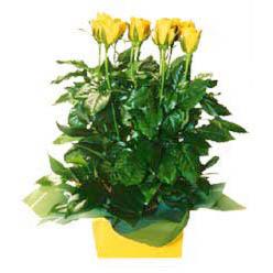 11 adet sari gül aranjmani  Bingöl Gölüm Çiçek online çiçekçi , çiçek siparişi