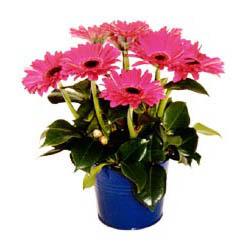 vazo içerisinde gerbera çiçekleri   Bingöl Gölüm Çiçek online çiçek gönderme sipariş