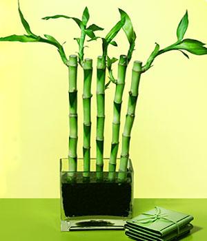 Bingöl Gölüm Çiçek anneler günü çiçek yolla  Good Harmony Lucky Bamboo camda