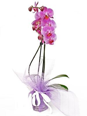 Bingöl Gölüm Çiçek anneler günü çiçek yolla  Kaliteli ithal saksida orkide