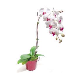Bingöl Gölüm Çiçek çiçek gönderme  Saksida orkide