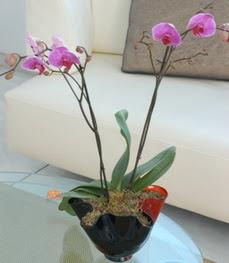 Bingöl Gölüm Çiçek çiçekçi mağazası  tek dal ikili orkide saksi çiçegi