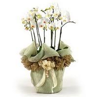 Bingöl Gölüm Çiçek çiçek siparişi sitesi  3 dal orkide , saksi çiçegi , 3 kök orkide