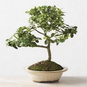 ithal bonsai saksi çiçegi  Bingöl Gölüm Çiçek çiçek online çiçek siparişi