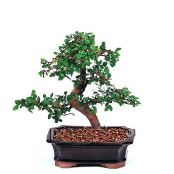 ithal bonsai saksi çiçegi  Bingöl Gölüm Çiçek çiçek siparişi vermek