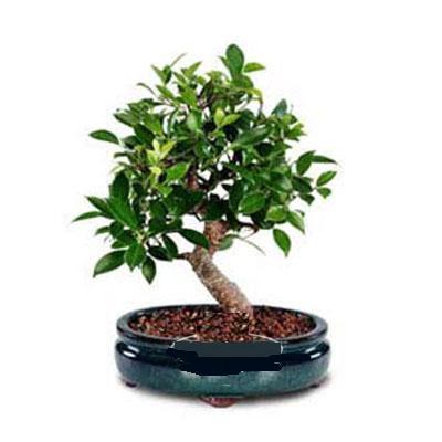 ithal bonsai saksi çiçegi  Bingöl Gölüm Çiçek çiçek siparişi sitesi