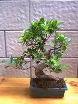 ithal bonsai saksi çiçegi  Bingöl Gölüm Çiçek hediye sevgilime hediye çiçek