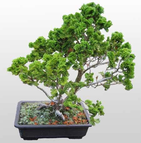 ithal bonsai saksi çiçegi  Bingöl Gölüm Çiçek İnternetten çiçek siparişi