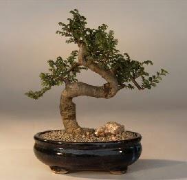 ithal bonsai saksi çiçegi  Bingöl Gölüm Çiçek 14 şubat sevgililer günü çiçek