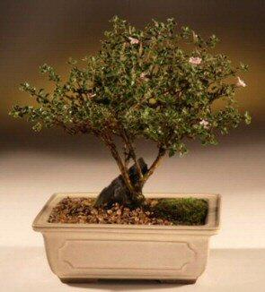 ithal bonsai saksi çiçegi  Bingöl Gölüm Çiçek çiçek mağazası , çiçekçi adresleri