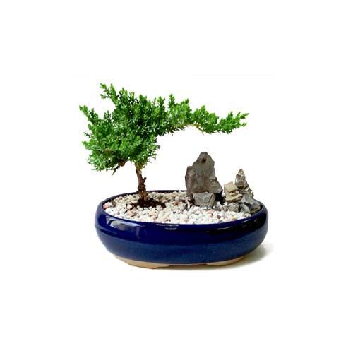 ithal bonsai saksi çiçegi  Bingöl Gölüm Çiçek çiçek gönderme