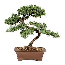 ithal bonsai saksi çiçegi  Bingöl Gölüm Çiçek çiçek gönderme sitemiz güvenlidir