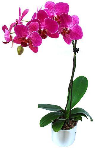 Bingöl Gölüm Çiçek çiçekçi mağazası  saksi orkide çiçegi