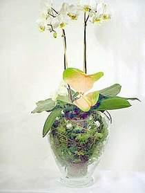 Bingöl Gölüm Çiçek çiçek satışı  Cam yada mika vazoda özel orkideler