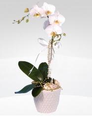 1 dallı orkide saksı çiçeği  Bingöl Gölüm Çiçek online çiçekçi , çiçek siparişi