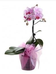 1 dal pembe orkide saksı çiçeği  Bingöl Gölüm Çiçek kaliteli taze ve ucuz çiçekler