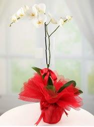 1 dal beyaz orkide saksı çiçeği  Bingöl Gölüm Çiçek yurtiçi ve yurtdışı çiçek siparişi