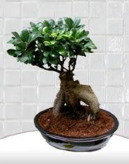 saksı çiçeği japon ağacı bonsai  Bingöl Gölüm Çiçek kaliteli taze ve ucuz çiçekler