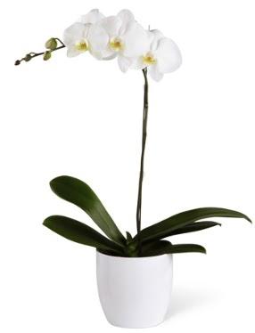 1 dallı beyaz orkide  Bingöl Gölüm Çiçek 14 şubat sevgililer günü çiçek