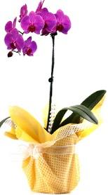 Bingöl Gölüm Çiçek çiçek siparişi sitesi  Tek dal mor orkide saksı çiçeği