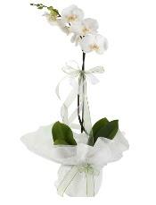 1 dal beyaz orkide çiçeği  Bingöl Gölüm Çiçek çiçek siparişi vermek