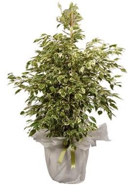 Orta boy alaca benjamin bitkisi  Bingöl Gölüm Çiçek internetten çiçek satışı