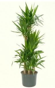 7 li yucca saksı bitkisi  Bingöl Gölüm Çiçek çiçek servisi , çiçekçi adresleri