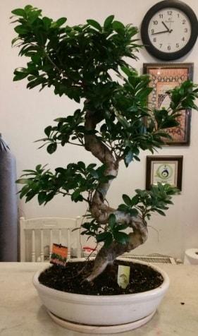 100 cm yüksekliğinde dev bonsai japon ağacı  Bingöl Gölüm Çiçek İnternetten çiçek siparişi