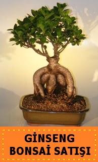 Ginseng bonsai satışı japon ağacı  Bingöl Gölüm Çiçek cicek , cicekci