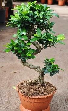 Orta boy bonsai saksı bitkisi  Bingöl Gölüm Çiçek internetten çiçek siparişi