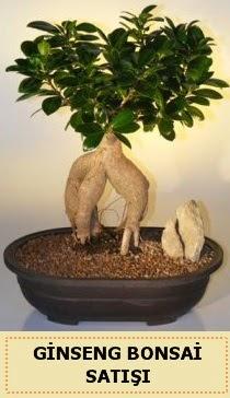 İthal Ginseng bonsai satışı japon ağacı  Bingöl Gölüm Çiçek çiçek siparişi sitesi