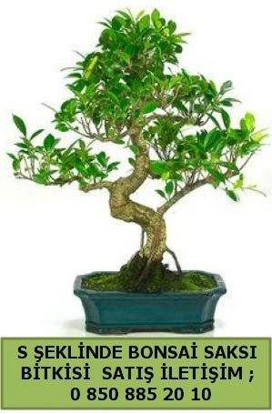 İthal S şeklinde dal eğriliği bonsai satışı  Bingöl Gölüm Çiçek çiçek gönderme