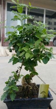 Bonsai japon ağacı saksı bitkisi  Bingöl Gölüm Çiçek çiçek siparişi vermek