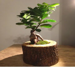 Doğal kütükte Bonsai japon ağacı satışı  Bingöl Gölüm Çiçek internetten çiçek satışı