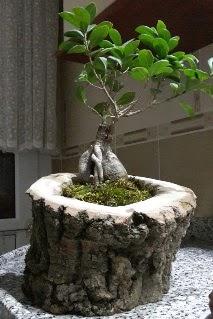 Ahşap kütük içerisinde ginseng bonsai  Bingöl Gölüm Çiçek internetten çiçek siparişi