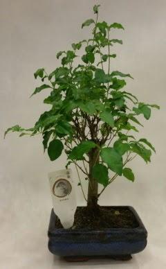 Minyatür bonsai japon ağacı satışı  Bingöl Gölüm Çiçek çiçekçi telefonları