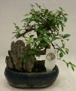 İthal 1.ci kalite bonsai japon ağacı  Bingöl Gölüm Çiçek çiçek satışı