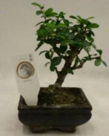 Küçük minyatür bonsai japon ağacı  Bingöl Gölüm Çiçek çiçek gönderme