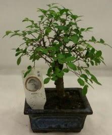 Minyatür ithal japon ağacı bonsai bitkisi  Bingöl Gölüm Çiçek çiçek satışı