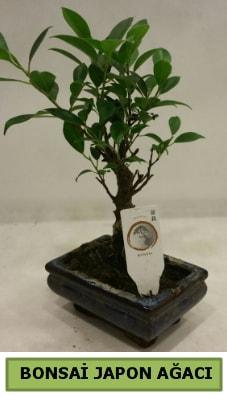 Bonsai japon ağacı saksı bitkisi  Bingöl Gölüm Çiçek çiçek servisi , çiçekçi adresleri