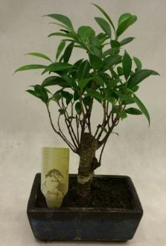 Japon ağacı bonsai bitkisi satışı  Bingöl Gölüm Çiçek çiçekçi telefonları