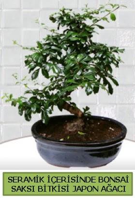 Seramik vazoda bonsai japon ağacı bitkisi  Bingöl Gölüm Çiçek çiçek siparişi sitesi