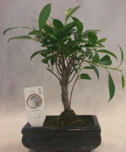 Bonsai japon ağacı bitkisi satışı  Bingöl Gölüm Çiçek çiçek gönderme sitemiz güvenlidir
