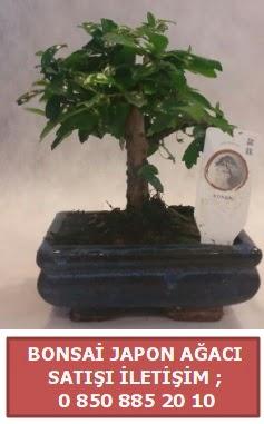 Japon ağacı minyaür bonsai satışı  Bingöl Gölüm Çiçek çiçek satışı