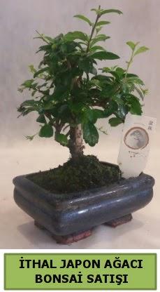 İthal japon ağacı bonsai bitkisi satışı  Bingöl Gölüm Çiçek çiçekçi telefonları