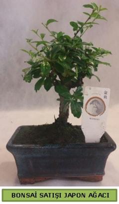 Minyatür bonsai ağacı satışı  Bingöl Gölüm Çiçek çiçek gönderme