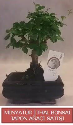 Küçük görsel bonsai japon ağacı bitkisi  Bingöl Gölüm Çiçek çiçek , çiçekçi , çiçekçilik